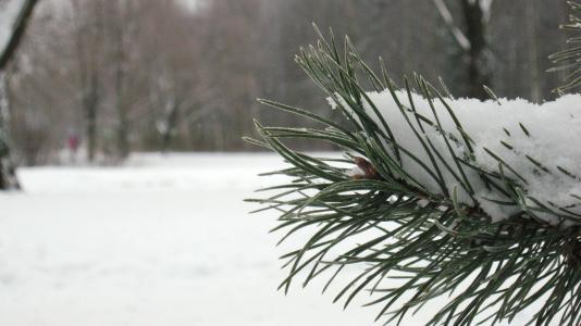 冬天,松树,雪,公园,彼得