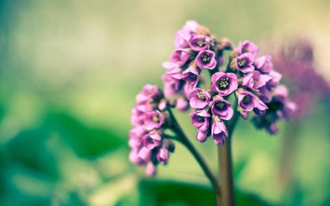紫色的铃铛,花