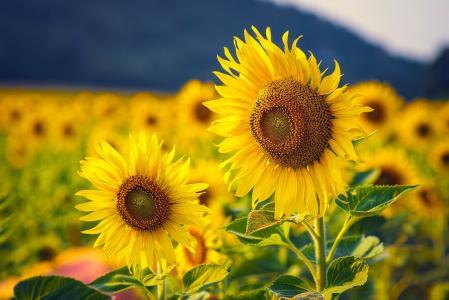 领域,向日葵,鲜花