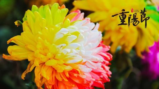 传统节日重阳节赏菊