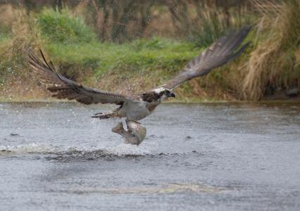 鸟,起飞,捕食者,鱼,起飞,鱼鹰