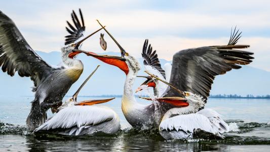 争抢食物的水鸟