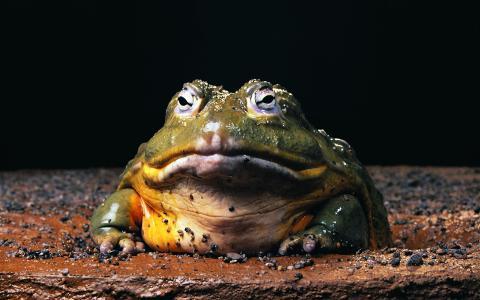 蟾蜍,青蛙,两栖类,冷血