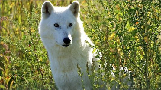 坐,狼,白,在草地上