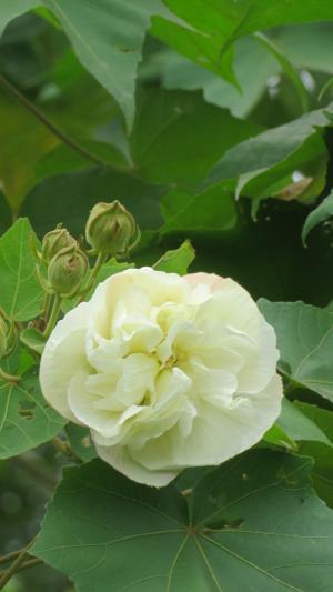 清新优美的芙蓉花