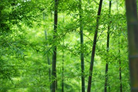 坚韧的竹子