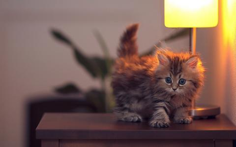 小猫,桌子,灯