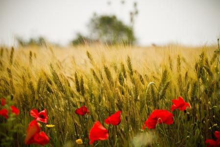 田地,鲜花,罂粟花,耳朵