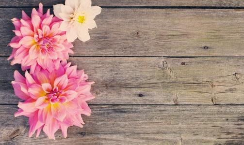 三,粉红色,大丽花,木,表