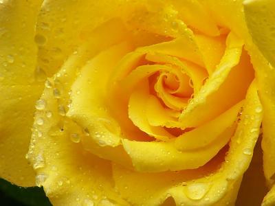 玫瑰,黄玫瑰,花瓣,滴,宏