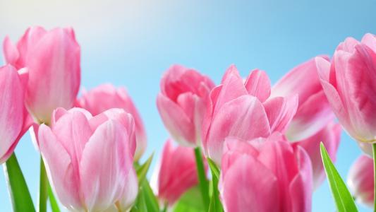 郁金香,粉红色