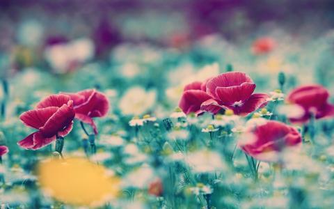 罂粟,洋甘菊,草地,鲜花