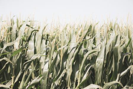 天空下的玉米地