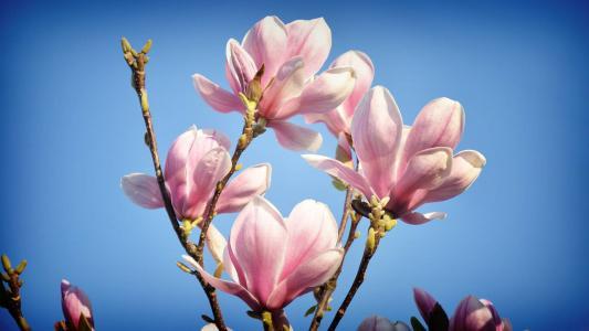 玉兰,粉红色,芽,蓝蓝的天空