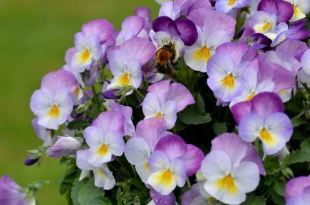 紫罗兰三色,三色堇,中提琴,大黄蜂