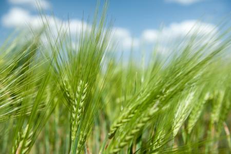 小穗,耳朵,谷物,田地,黑麦,小麦