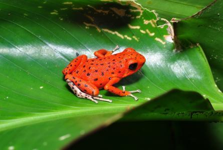 Frog-dervolaz,Pumilio,青蛙,pumilio,Dart Frog