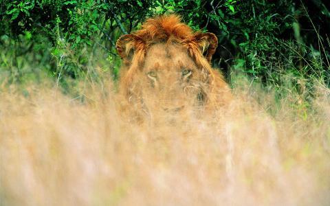 狮子,草,等待