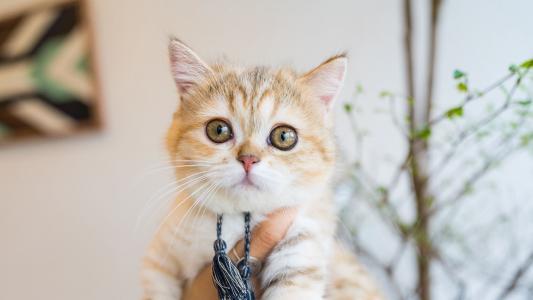 卖萌的可爱猫咪