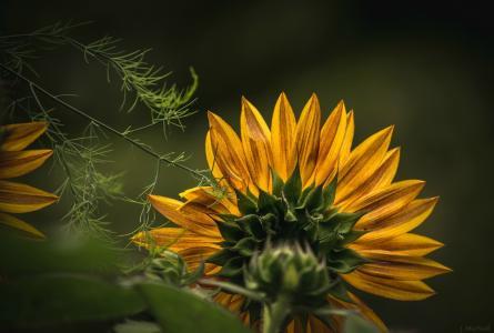 向日葵,花瓣,黄色,宏