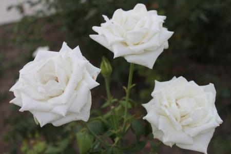 白玫瑰,灌木的白玫瑰