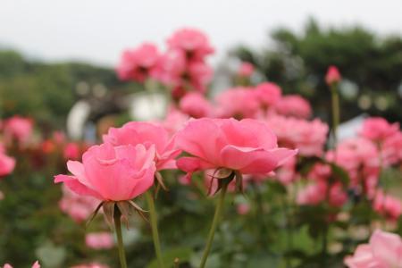 芬芳清香的玫瑰花
