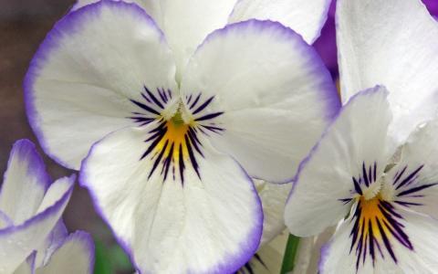 三色堇,白紫罗兰