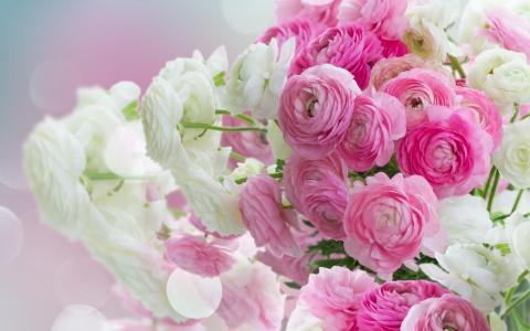 白色,美丽,毛茛属植物,粉红色的花朵,毛茛属,花朵,粉红色