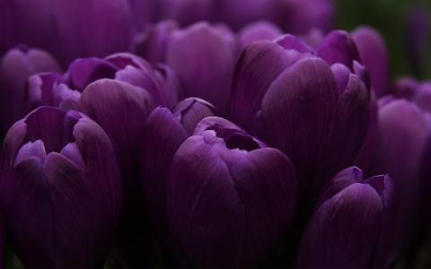 郁金香,紫罗兰色