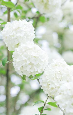 清新迷人的绣球花