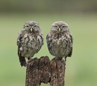 鸟,树桩,两只,猫头鹰
