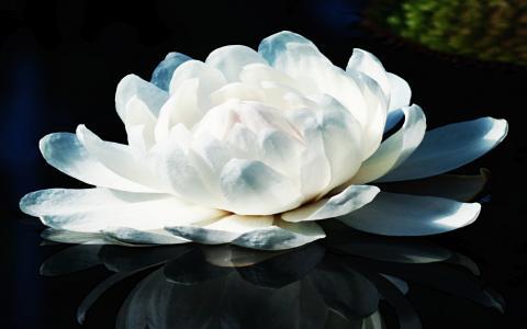 百合,白色