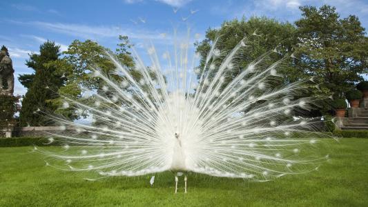 鸟,白孔雀,草坪