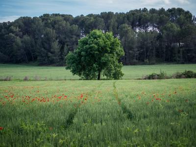 景观,场,树,罂粟花,天空