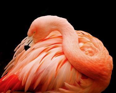 火烈鸟,鸟,粉红色,羽毛,黑暗的背景