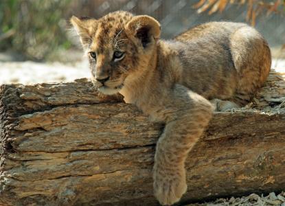 狮子,日志