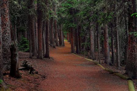 森林,树木,道路,冷杉,景观