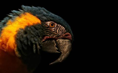 微笑,鹦鹉,喙,羽毛