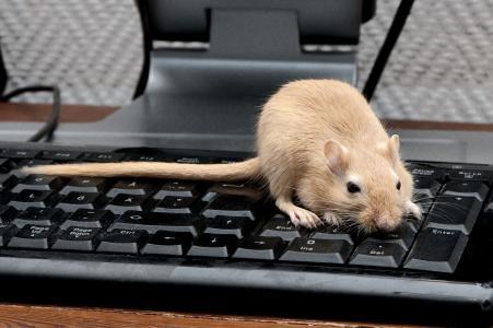 大鼠,键盘