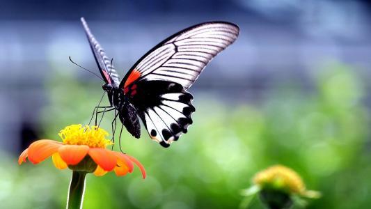 蝴蝶,上,橙色,花卉,壁纸