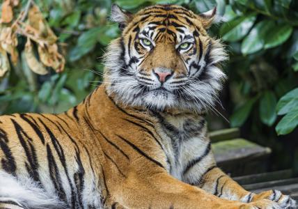 老虎,捕食者,看