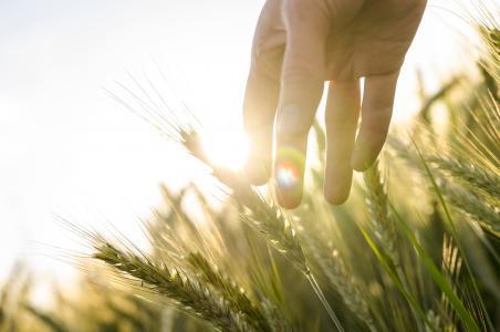 太阳,光,手,耳朵,场,黑麦,小麦
