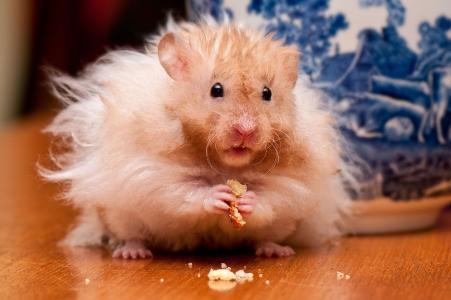 仓鼠,面包屑