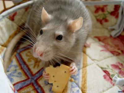 家,宠物,老鼠,饼干