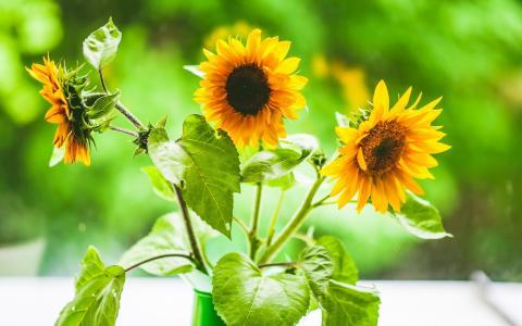 向日葵,太阳,三重奏