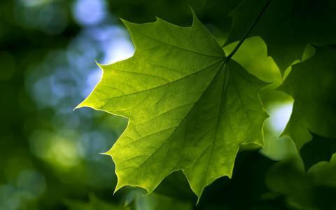 叶,枫叶,夏天,绿叶