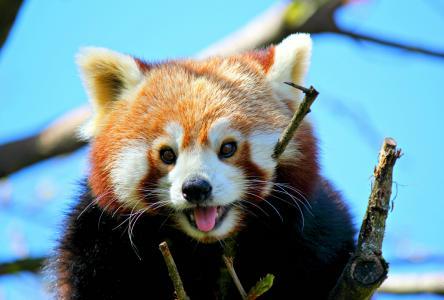 小熊猫,红熊猫,脸熊猫