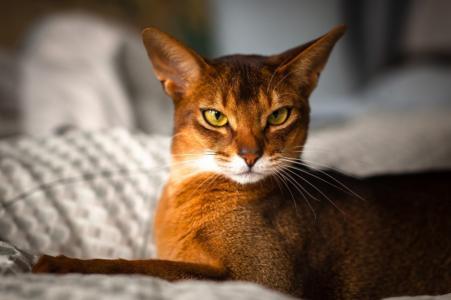 红头发,猫,长,耳朵,优雅,构成