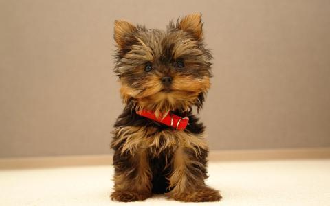 红领,小狗