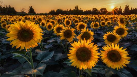 向日葵,鲜花,树木,夏天,领域